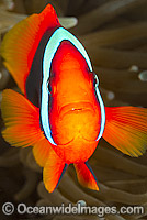 Tomato Anemonefish Amphiprion frenatus photo