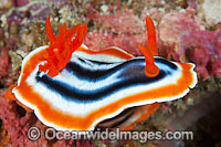 Nudibranch Chromodoris magnifica Photo - Gary Bell