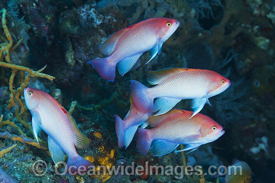 Pink Basslet (Pseudanthias hypselosoma), males grouped together. Also known as Stocky Anthias. Found throughout the Indo-West Pacific, including the Great Barrier reef, Australia.