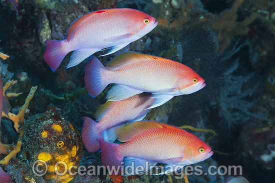 Pink Basslet (Pseudanthias hypselosoma), males grouped together. Also known as Stocky Anthias. Found throughout the Indo-West Pacific, including the Great Barrier reef, Australia. Photo - Gary Bell
