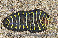Juvenile Flatworm Mimic Sole