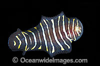 Flatworm Mimic Sole