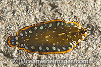 Flatworm Mimic Sole photo