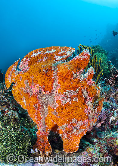 Giant Frogfish (Antennarius commersoni), mimicking a Sea Sponge. Also known as Giant Anglerfish. This species is highly variable in colour. Found throughout the Indo-West Pacific. Photo taken off Anilao, Philippines. Within the Coral Triangle. Photo - Gary Bell