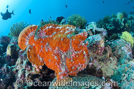 Giant Frogfish mimicking a Sea Sponge photo