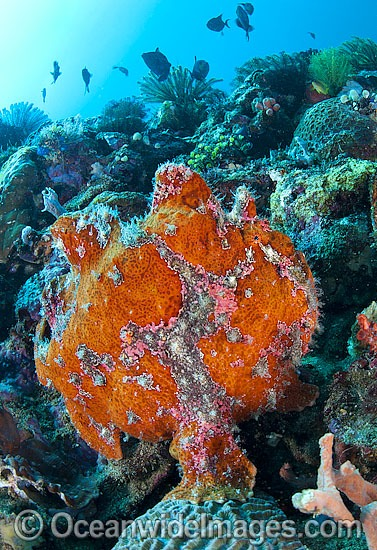 Giant Frogfish (Antennarius commersoni), mimicking a Sea Sponge. Also known as Giant Anglerfish. This species is highly variable in colour. Found throughout the Indo-West Pacific. Photo taken off Anilao, Philippines. Within the Coral Triangle.