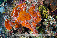 Giant Frogfish mimicking a Sea Sponge Photo - Gary Bell