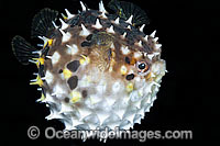 Rounded Porcupinefish inflated Photo - Gary Bell