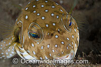 Stars and Stripes Pufferfish Arothron hispidus Photo - Gary Bell