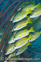 Schooling Blue-striped Snapper photo