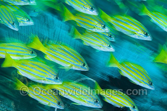 Schooling Blue-striped Snapper (Lutjanus kasmira). Found throughout the Indo-West Pacific, including the Great Barrier Reef, Australia.