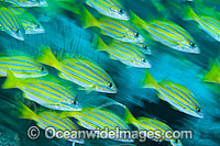 Schooling Snapper Great Barrier Reef photo