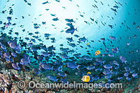 Schooling Blue Triggerfish Odonus niger photo