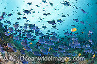 Schooling Blue Triggerfish photo
