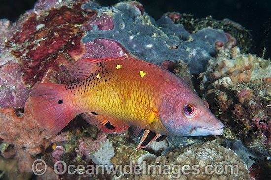 Pacific Diana's Wrasse (Bodianus sp.) - male. Found throughout the West Pacific. Photo taken off Anilao, Philippines Within the Coral Triangle.