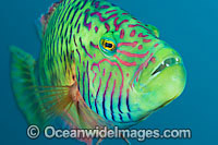 Cheek-lined Maori Wrasse photo