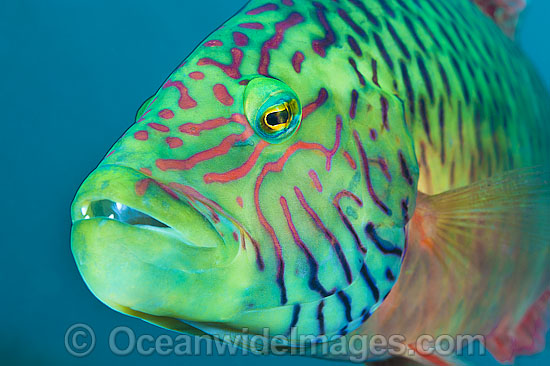 Cheek-lined Maori Wrasse (Cheilinus digramma). Found throughout the Indo-West Pacific. Photo taken off Anilao, Philippines. Within the Coral Triangle.