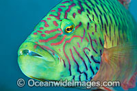 Cheek-lined Maori Wrasse Cheilinus digramma photo