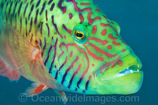 Cheek-lined Maori Wrasse (Cheilinus digramma). Found throughout the Indo-West Pacific. Photo taken off Anilao, Philippines. Within the Coral Triangle. Photo - Gary Bell