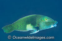 Half-and-Half Wrasse Hemigymnus melapterus photo