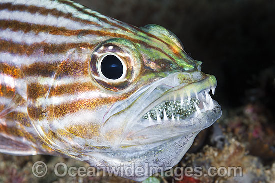 Intermediate Cardinalfish (Cheilodipterus intermedius), male incubating a fertilised egg mass in its mouth. Also known as Inbetween Cardinalfish. Found throughout the Indo-West Pacific, including the Great Barrier reef, Australia.