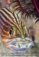 Intermediate Cardinalfish with eggs in mouth Photo - Gary Bell