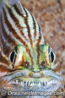Cardinalfish with eggs in mouth Photo - Gary Bell
