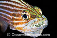 Male Cardinalfish with eggs in mouth Photo - Gary Bell
