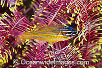 Blue-lined Cardinalfish Apogon cyanosoma Photo - Gary Bell