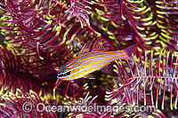 Blue-lined Cardinalfish in Crinoid Photo - Gary Bell