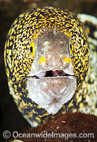 Starry Moray Eel Photo - Gary Bell