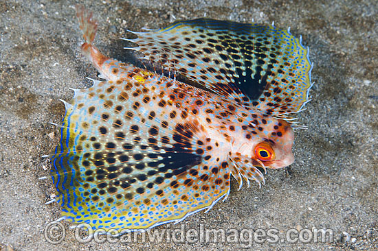 Flying Gurnard with fins extended photo