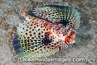 Flying Gurnard with fins extended