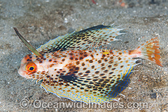 Flying Gurnard (Dactyloptena orientalis). Usually seen on sand and rubble in sheltered shallow bays, but also deep offshore, throughout the Indo Pacific. Photo taken off Anilao, Philippines. Within the Coral Triangle.