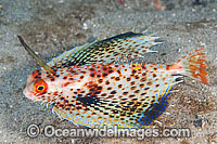 Flying Gurnard with fins extended Photo - Gary Bell