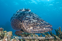 Potato Cod Epinephelus tukula Photo - Gary Bell