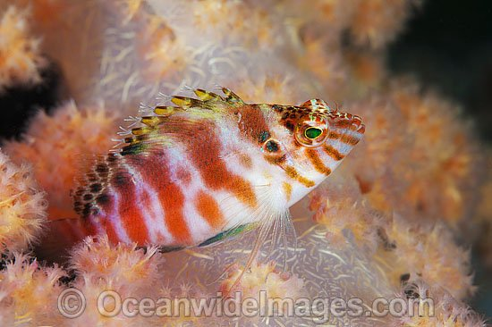 Blotched Hawkfish (Cirrhitichthys aprinus), resting in soft coral. Found throughout the Indo-West Pacific, including the Great Barrier Reef, Australia. Photo - Gary Bell