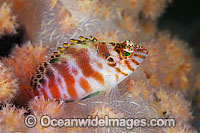 Blotched Hawkfish Cirrhitichthys aprinus photo