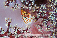 Blotched Hawkfish in soft coral