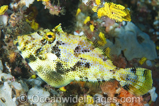 Spotted Filefish Pseudomonacanthus macrurus photo