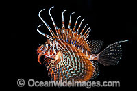 Gurnard Lionfish hunting at night