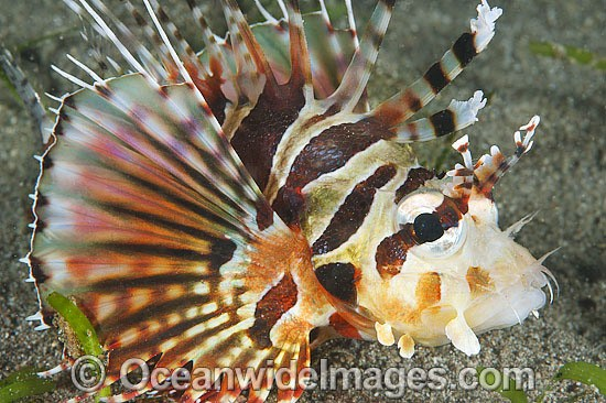 Zebra Lionfish (Dendrochirus zebra). Found throughout the Indo-West Pacific, including the Great Barrier Reef, Australia. Photo - Gary Bell