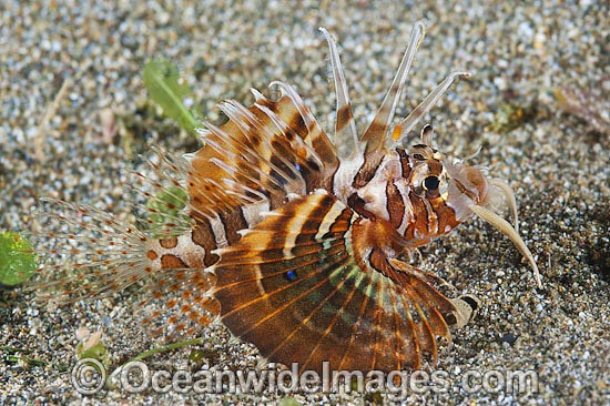 Zebra Lionfish (Dendrochirus zebra), juvenile. Found throughout the Indo-West Pacific, including the Great Barrier Reef, Australia.