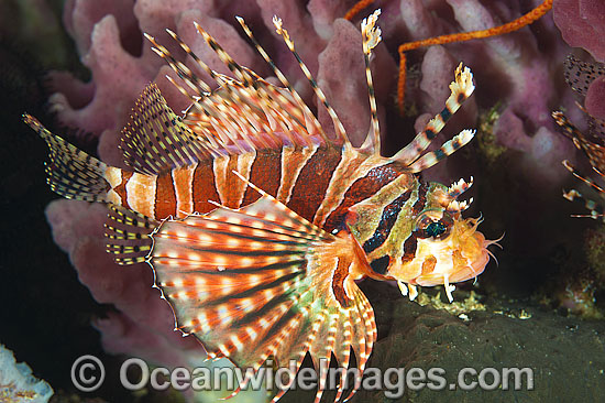 Zebra Lionfish (Dendrochirus zebra). Found throughout the Indo-West Pacific, including the Great Barrier Reef, Australia.
