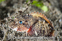 Little Stingfish Minous pusillus photo