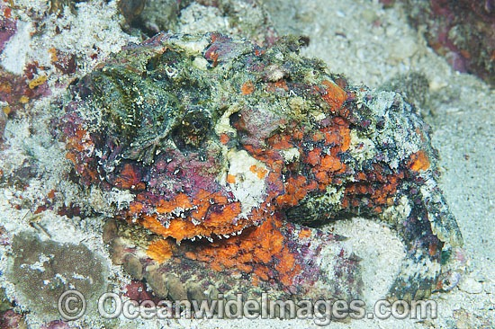 Reef Stonefish Synanceia verrucosa photo