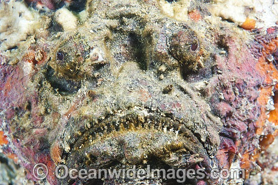 Reef Stonefish (Synanceia verrucosa). This species is the most venomous of known fish, possessing venom glands at the base of each needle sharp dorsal spine. Found throughout the Indo-West Pacific, including the Great Barrier Reef, Australia. Photo - Gary Bell