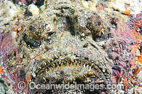 Reef Stonefish Photo - Gary Bell