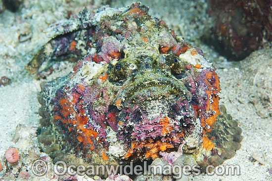Reef Stonefish (Synanceia verrucosa). This species is the most venomous of known fish, possessing venom glands at the base of each needle sharp dorsal spine. Found throughout the Indo-West Pacific, including the Great Barrier Reef, Australia.
