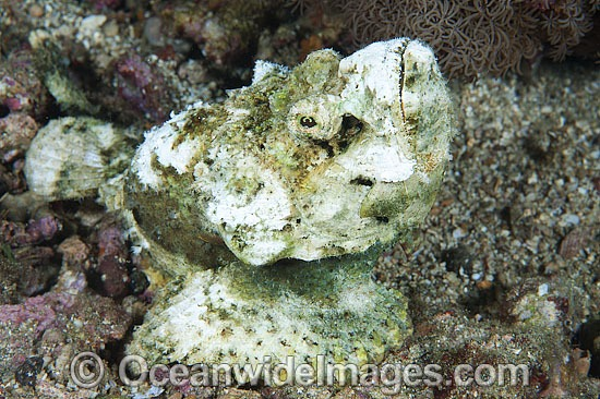 False Stonefish (Scorpaenopsis diabolus), misspelling (Scorpaenopsis diabola). Often mistaken for Stonefish, due to the rock-like appearance of this species. Found throughout the Indo-West Pacific, including the Great Barrier Reef, Queensland, Australia. Photo - Gary Bell